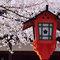 今月の花:桜