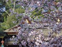 平野神社 桜のライトアップ