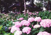 藤森神社 紫陽花まつり