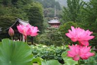 三室戸寺 蓮園の開園