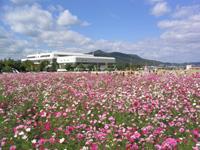 京都丹波/亀岡『夢コスモス園』