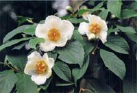 東林院 沙羅の花を愛でる会