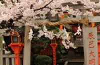 【京都桜情報2017】祇園白川の桜 ≪4月8日≫