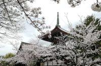 【本法寺】超穴場!美しすぎる桜!どこから見てもフォトジェニック!