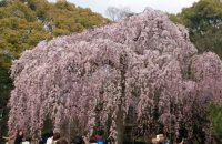 【京都桜情報2017】京都御苑(御所)の桜 ≪4月3日≫
