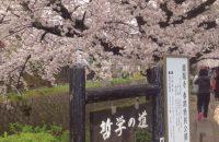 【京都桜情報2017】哲学の道の桜 ≪4月8日≫