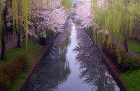 【京都桜情報2017】伏見の桜 ≪4月6日≫