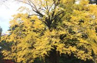 【京都紅葉情報2017】もみじにイチョウ、京都の紅葉、ピークです!≪11月19日≫