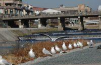 【京都・鴨川】京都と言えばここ!すぐそばにある幸せ、冬の鴨川!