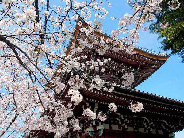 まいまい京都 【上京】天皇も愛でた一面の糸桜、格式高き4ヶ寺をめぐる