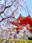 まいまい京都 【仁和寺】庭師とLet'sお花見!桜の雲海に包まれる旧御室御所へ