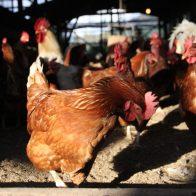 飼育方法から飼料までこだわり抜いた【京都大原山田農園】の平飼い有精卵「野たまご」