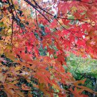 【京都大原 三千院】紅葉の見頃スタート!色づいた紅葉と苔の共演!