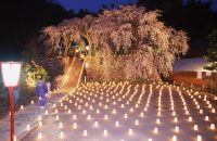 瑠璃寺のしだれ桜 ライトアップ