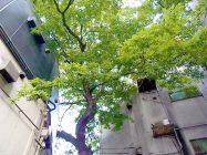 まいまい京都【四条の森】庭師とまちなか植物ウォッチング!森目線で、京都一の繁華街へ