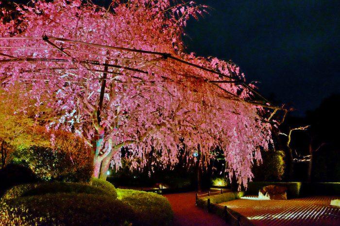 妙心寺退蔵院 お食事付き「観桜会」