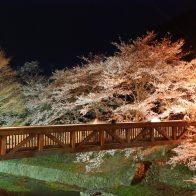 和らぎの道 七谷川沿い 桜ライトアップ