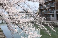 藤森・疏水沿いの桜とジャンボたこ焼き!【深草の桜2021年3月27日】