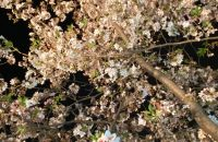 墨染寺の夜桜~ライトアップに感動【深草の桜2021年4月1日】