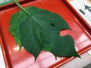 千本ゑんま堂 風祭り・梶の葉祈願