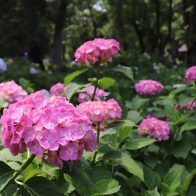 【深草の草花】藤森神社の「紫陽花まつり」で色とりどりのアジサイに癒されてきた!
