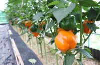 【E-TOKO深草 テイクアウトマーケット】深草で安心・安全な無農薬の美味しい野菜を作り続ける「京都風緑」・杉井さんの農園へ行ってきた!