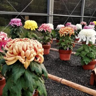 京都府立植物園 菊花展