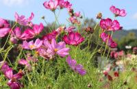 いま、亀岡のコスモス畑が満開らしい! ~夢コスモス園の満開前レポート~